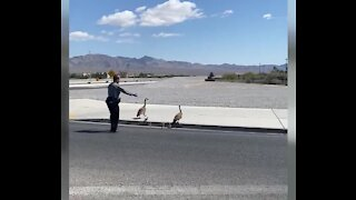 Nevada Highway Patrol stops traffic for geese