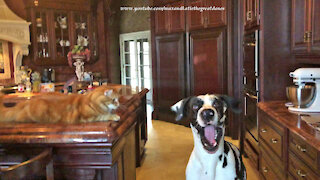 Cat Is Amused By Great Dane Catching Dog Treats Sitting And Speaking