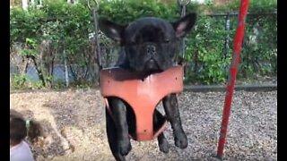 Denne franske bulldoggen hater husking
