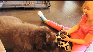 Giant Newfie puppy plays tug of war with toddler best friend