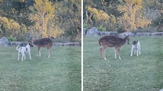 Friendly dog really wants to play with rescue deer
