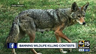 Arizona Game and Fish moves to ban coyote killing contests
