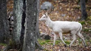Rare albino deer caught on film in USA