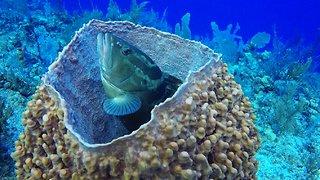 Nassau grouper fish finds unusual spot to ambush prey