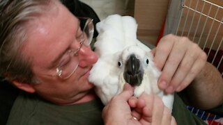 Baby cockatoo leans how to use his voice and wings