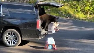 Bear steals crackers from car
