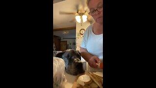 """Great Dane """"helps"""" owner prepare dinner"""