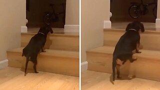 Hilarious Moment Short-legged Dog Struggles To Get Up Steps