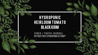 First Hydroponic Tomato Black Krim