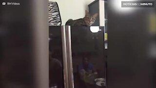 Este gato fica revoltado quando tentam fechar a geladeira