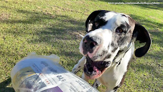 Great Danes perform relay race while delivering the newspaper