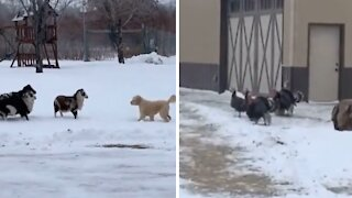 Sheep puts puppy in its place, turkeys find it hilarious