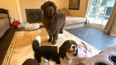 Newfoundland and Cavalier go head to head in epic game with mom