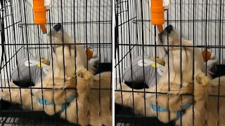 Puppy can't decide if he wants to sleep or drink water