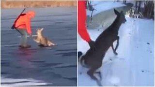 Metsästäjät pelastavat jäälle jumiin jääneen peuran