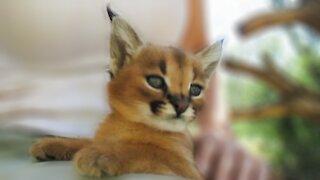 Adorable baby caracal resembles a Pokémon