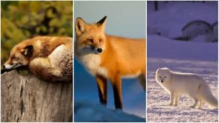 Smart & sly: the wonderful world of foxes