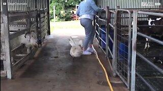 Deux oies passent à l'attaque en Australie