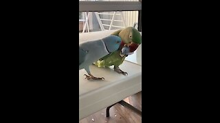 Parrot gives best friend kisses, complete with kissing sounds!