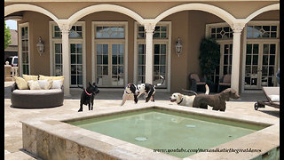 Great Danes Have Fun With Water Loving Lab