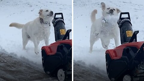 """Labrador loves to """"assist"""" owner with the snow plowing"""