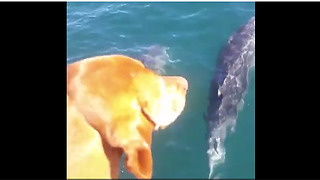 Curious Dog Is Fascinated With A Pod Of Dolphins