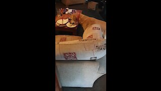 Bad dog caught eating owner's leftovers