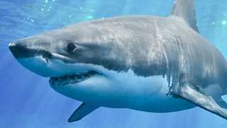 Why Great White Sharks Are A Total Mystery