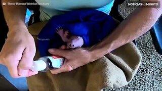 Filhote de Vombate recebe tratamento de beleza