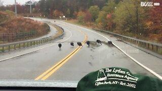 Un groupe de dindes sauvages bloque une route aux États-Unis