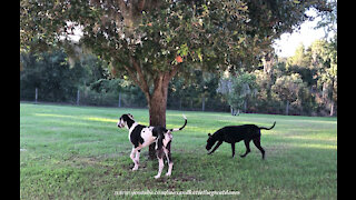 Funny Great Danes Go Sniffing After A Squirrel