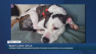 Diamond Darling is up for adoption at the Maryland SPCA