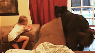 Newfie owner totally loses control of huge pet