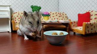 Chinese hamster enjoys tiny treat in his home