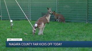 Day one at the Niagara County with kangaroos at Niagara Downunder