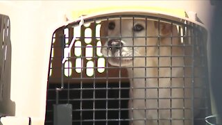 Dogs impacted by Hurricane Ida flown to Colorado, will be cared for by local shelters