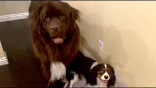Cute Cavalier fights huge Newfie for dog bed dominance
