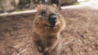 THIS ADORABLE QUOKKA VISITS NEARBY RESIDENTS!