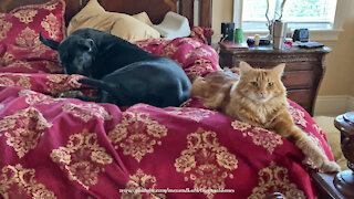 Comfy Cat And Great Dane Love To Cuddle Up In Bed Together