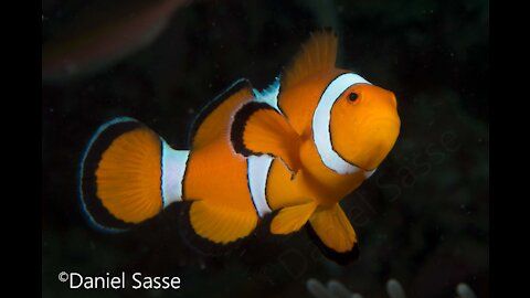 Nemo in real life (Amphiprion ocellaris)
