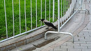 Incredibly smart crow dips bread in water before eating