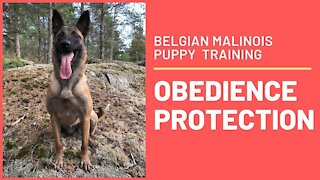 Belgian Malinois - Training Obedience
