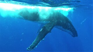 Humpback whales surface to breathe beside thrilled swimmers in Tonga