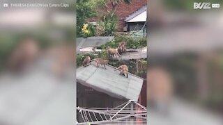 Mãe raposa cria filhotes nos telhados do Reino Unido
