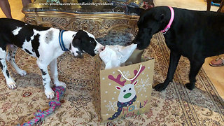 Excited Great Danes thrilled to open new gift bags