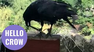 Unusual video captures moment a crow greets a walker