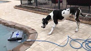 Great Dane isn't too sure about robotic pool vacuum
