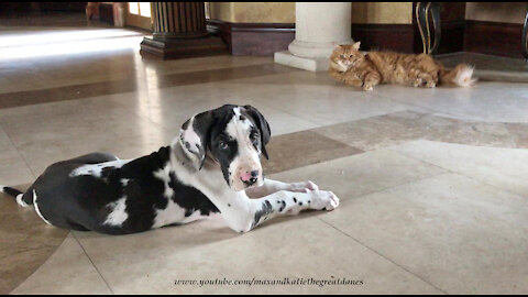 Funny Cat Teaches Great Dane Puppy That Cats Rule