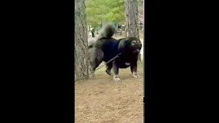 Tibetan Mastiff- the real beast of animal kingdom