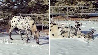 Winter-loving stallion caught on camera making snow angels